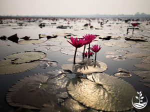 Wwoofing en thailande, faire du volontariat en thailande, faire du bénévolat en thailande, woofing thailande, thai wwoof, excursion en issan, guide à vientiane au Laos, fleur de lotus