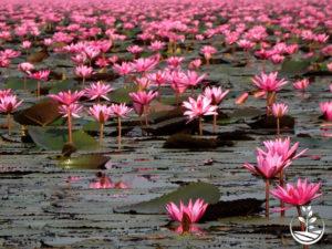 Wwoofing en thailande, faire du volontariat en thailande, faire du bénévolat en thailande, woofing thailande, thai wwoof, excursion en issan, guide à vientiane au Laos, lac de lotus
