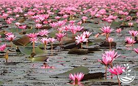 thai wwoofing, wwoofing en thailande, woofing, woofing en thailande, wwoof Thaïlande, écotourisme, eco-tourisme, permaculture, culture tropicale, tourisme vert, lotus, Udonthani