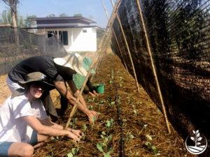 Wwoofing en thailande, faire du volontariat en thailande, faire du bénévolat en thailande, woofing thailande, thai wwoof, planter des salades en thailande