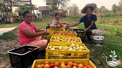 tomate en thailande, Thaïlande, cultiver, planter des tomates en thailande, récolte, récolter