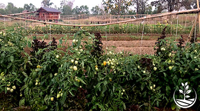 tomate en thailande, Thaïlande, cultiver, planter des tomates en thailande