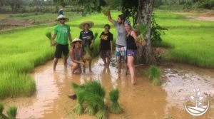 Notre riz thaïlandais, le temps des semis