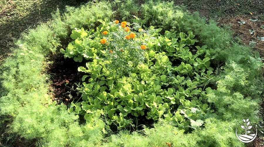 association de plantes et de légumes
